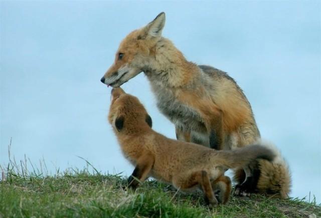 Fox4 028