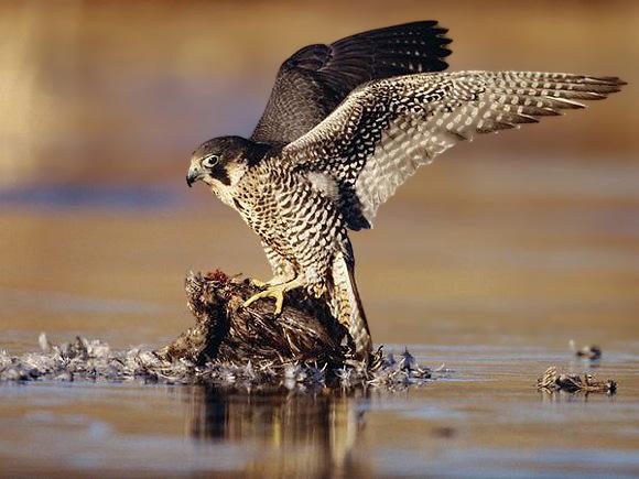 4peregrine-falcon_5817_600x450