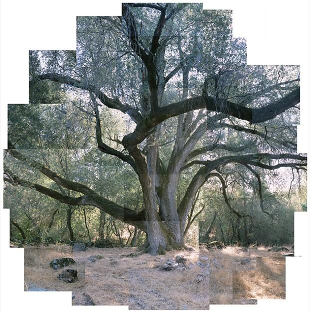 balog_tree_canyon-oak