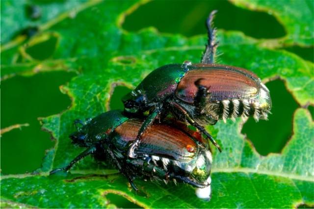 Beetle 012