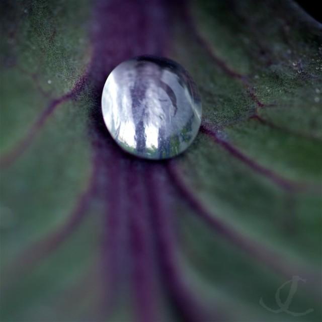cabbage-jewel