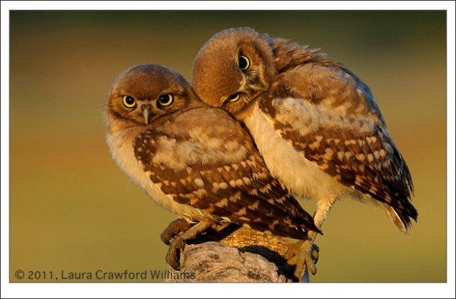 Laura C. Williams Burrowing owls
