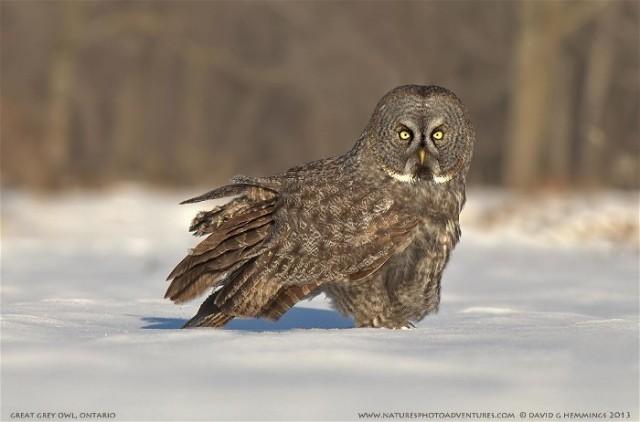An David Hemmings Great Grey Owl