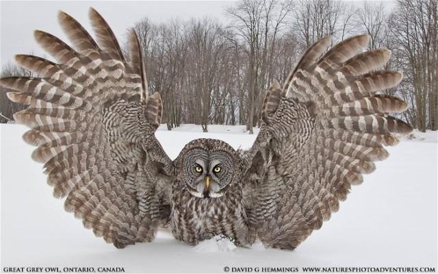 An David Hemmings Great Grey Owl2