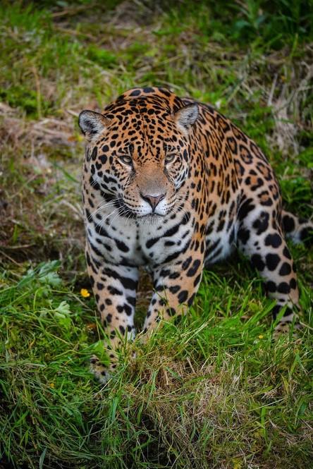 1Alonzo Guerro, Leopard