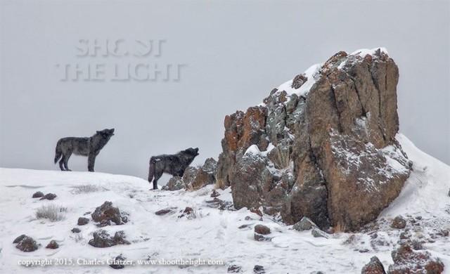 2Charles Glatzer, Yellowstone wolves