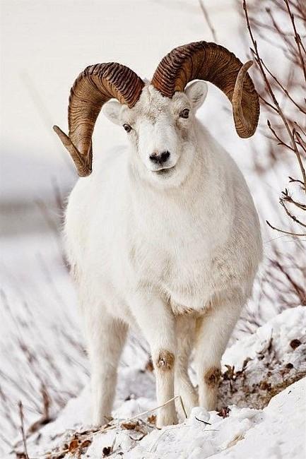 3Dahl Sheep, Umit Ozkay