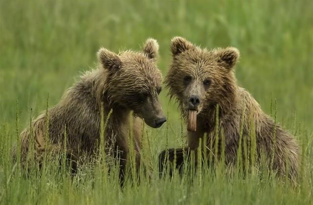 3Moose Peterson, Alaskan Brown Bears