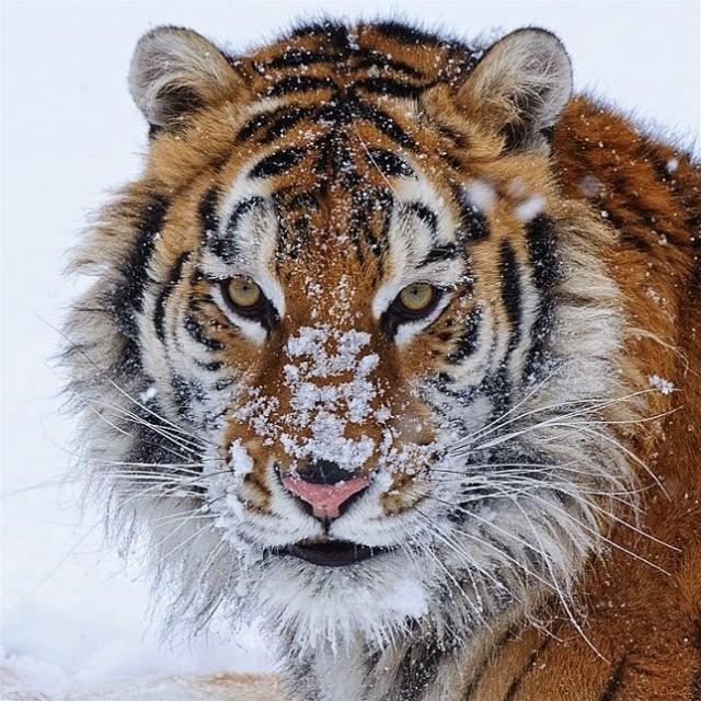 5Lisa Lavender, Tiger