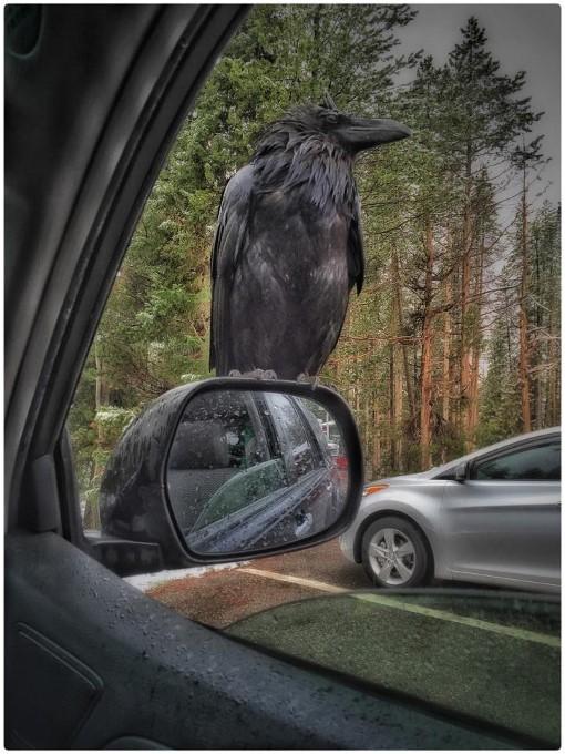 2Kevin Brown Grand Teton Raven