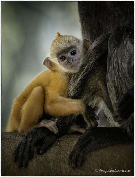 2You've Got The Cutest Little Monkey Face © Laurie Rubin_LAR6534Sand Diego Zoo