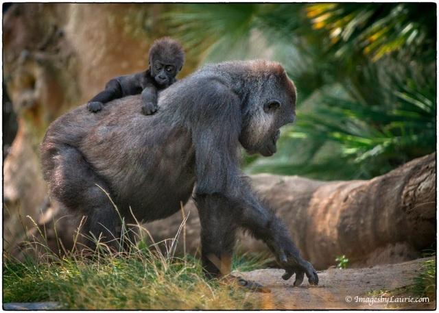 3Taxi Mom © Laurie Rubin, zoo shot