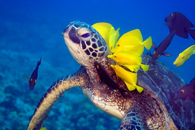 Green Sea Turtle being cleaned by tangs in flight, Turtle Towers, Kona, Hawaii