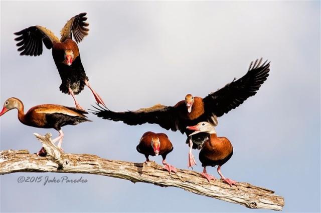 Landing_mayhem Black=bellied Whistling Ducks Jake Paredes
