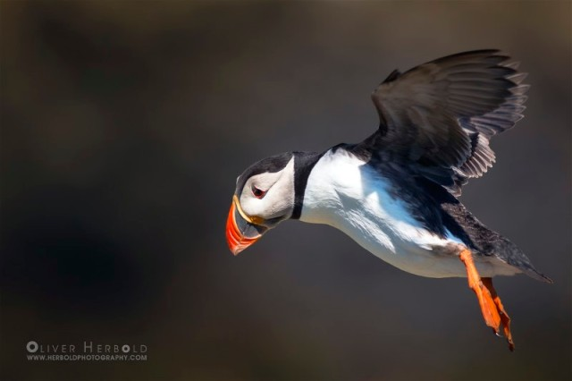 4IMG_6077_Puffin_Landing_gear_out