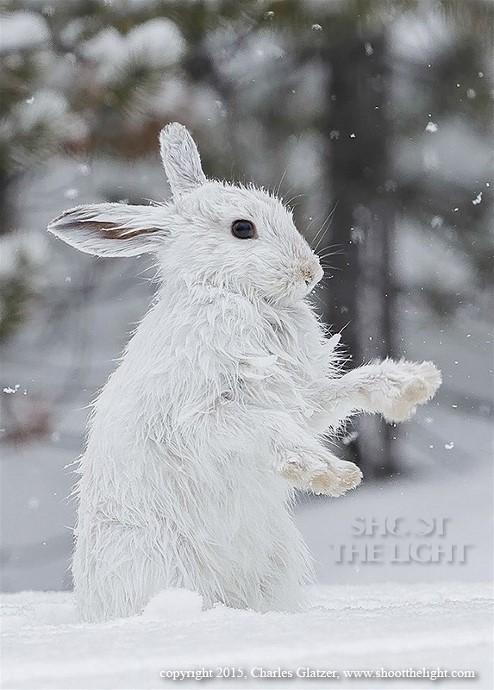 4Snowshoe Hare Charles Glatzer