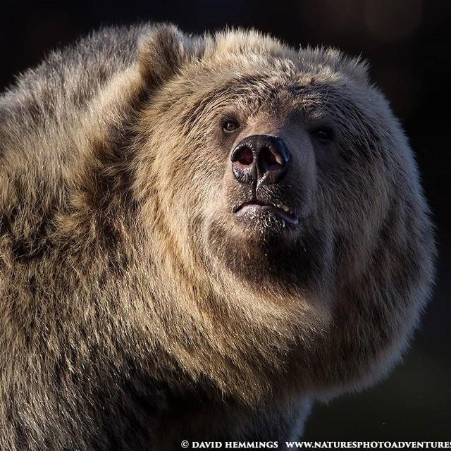 4a David Hemmings Alaskan Brown Bear
