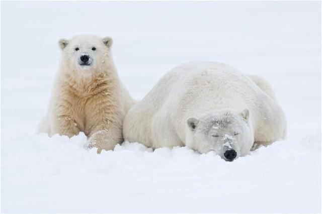 5aPolar-bear-and-cub-resting-in-snow,-Arctic-National-Wildlife-Refuge,-Alaska,-USA IanPlant