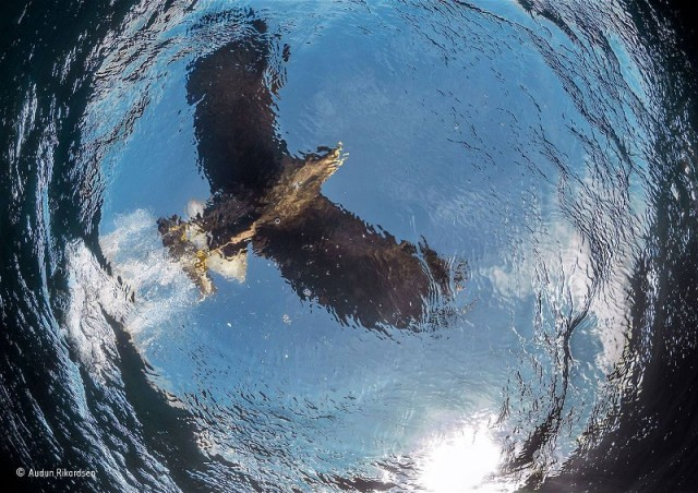 7Audun Rikardsen White Tail Eagle fishing, from the fishes perspective