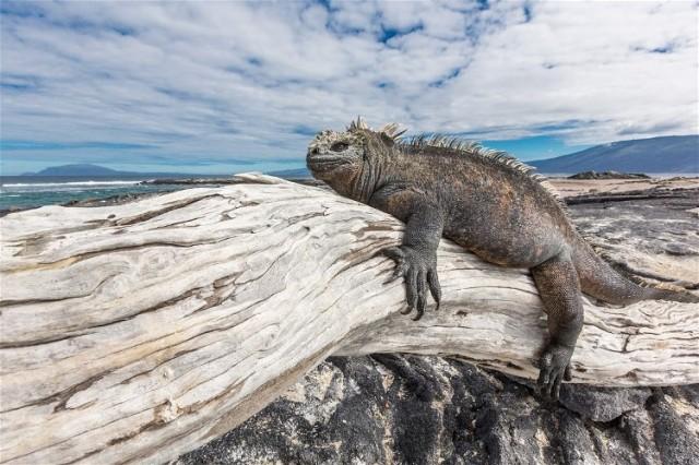 Marine-iguana-3,-Fernandina-Island,-Galapagos-National-Park,-Ecuador IanPlant