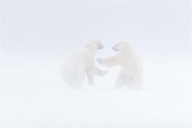 Polar-bears-fighting-in-blizzard,-Arctic-National-Wildlife-Refuge,-Alaska,-USA