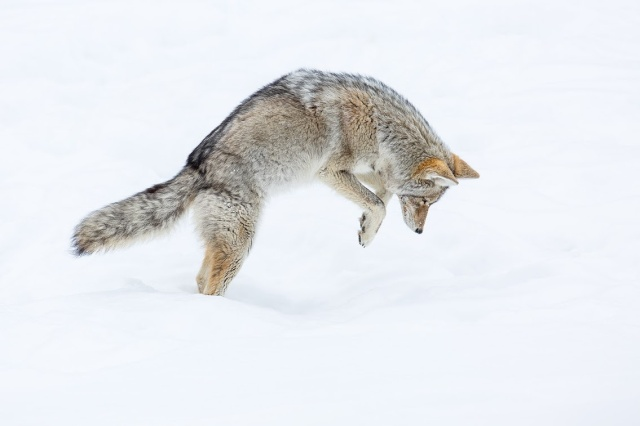 2Coyote-mousing-in-snowy-field-2,-Yellowstone-National-Park,-Wyoming,-USA IanPlant