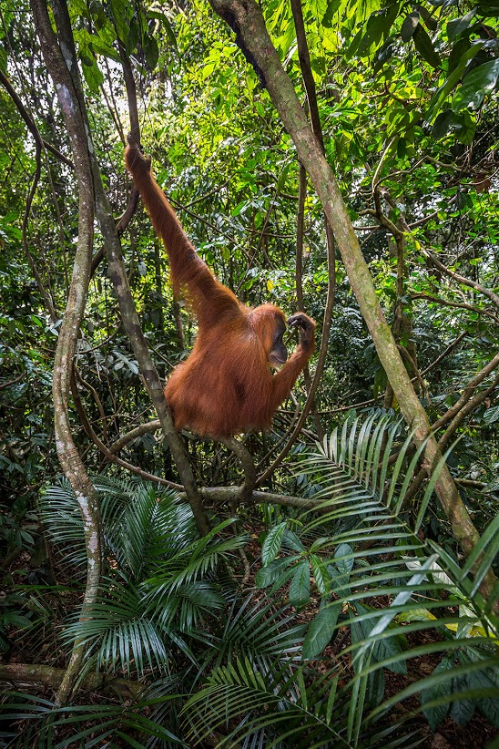 Female-orangutan-8,-Gunung-Leuser-National-Park,-Sumatra,-Indonesia