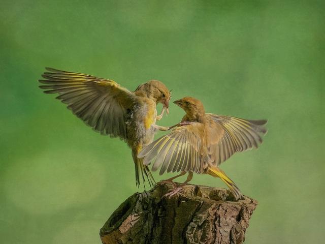 markfreethfinches
