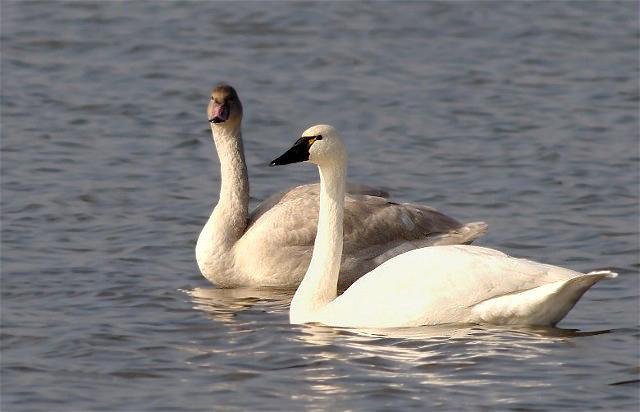 Copy of SwanDucks 059