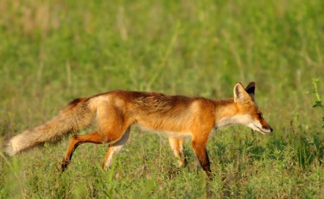 fox3 071