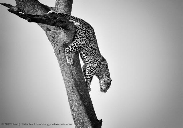 leoparddeantatooles
