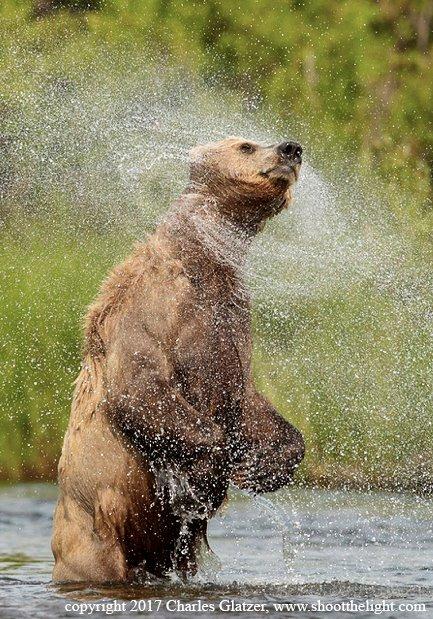 zucharles glatzer bear