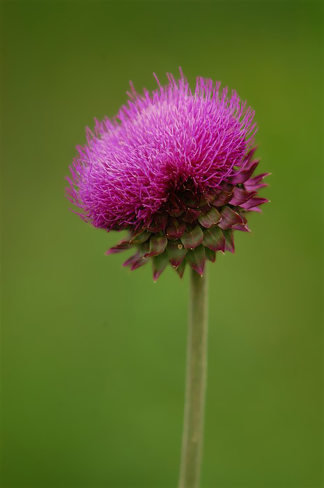 1Thistle A