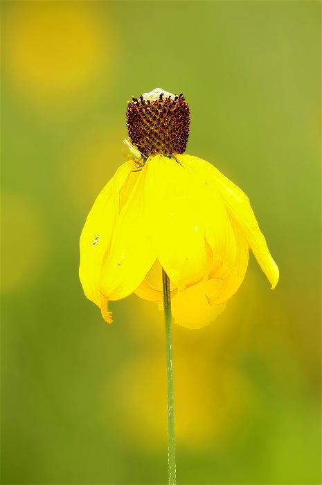 3PrairieConeflower