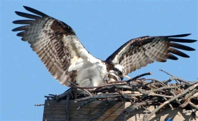 zCopy of Osprey2008cd116