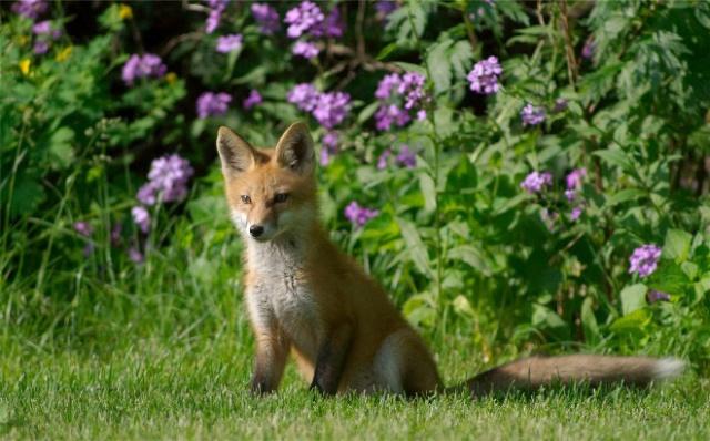 Fox 005