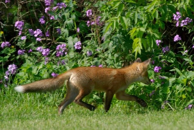 Fox 009b