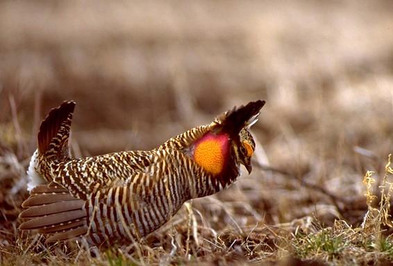 19Prairie Chicken
