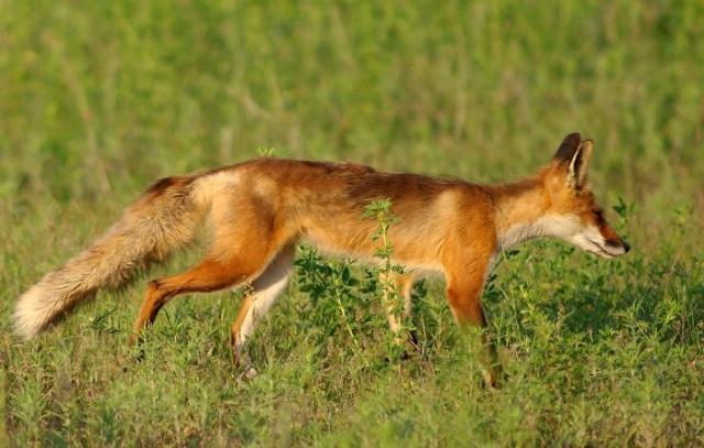 fox3 072