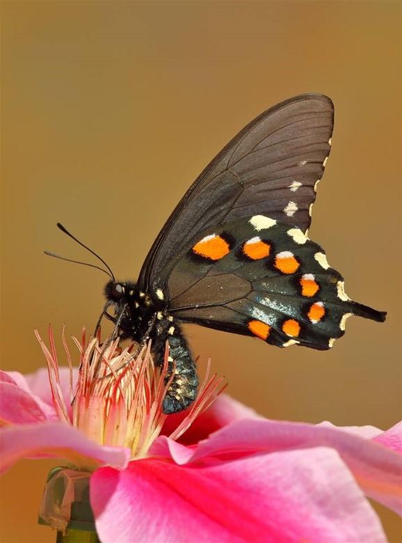 2Pipevine Swallowtail John Gerlach