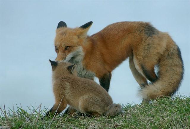 6Copy of Fox3 031