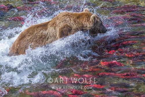 1grizzly art wolfe