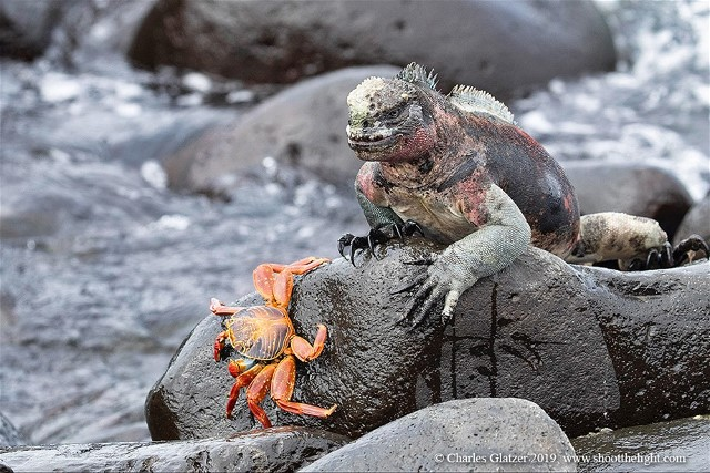 1Crab and IguanaCharlesGlatzer